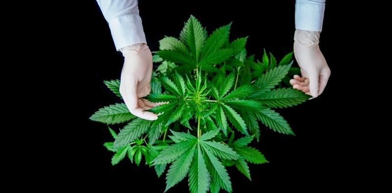 Cannabis cultivation: Vegetative growth