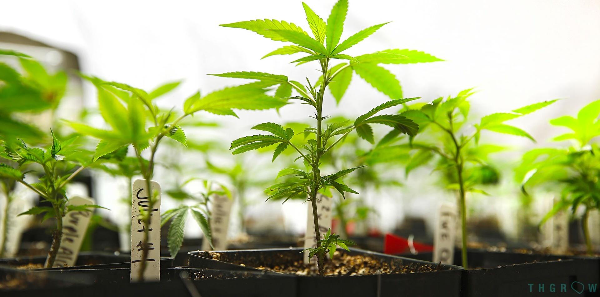 Esquejes y clonación del cannabis