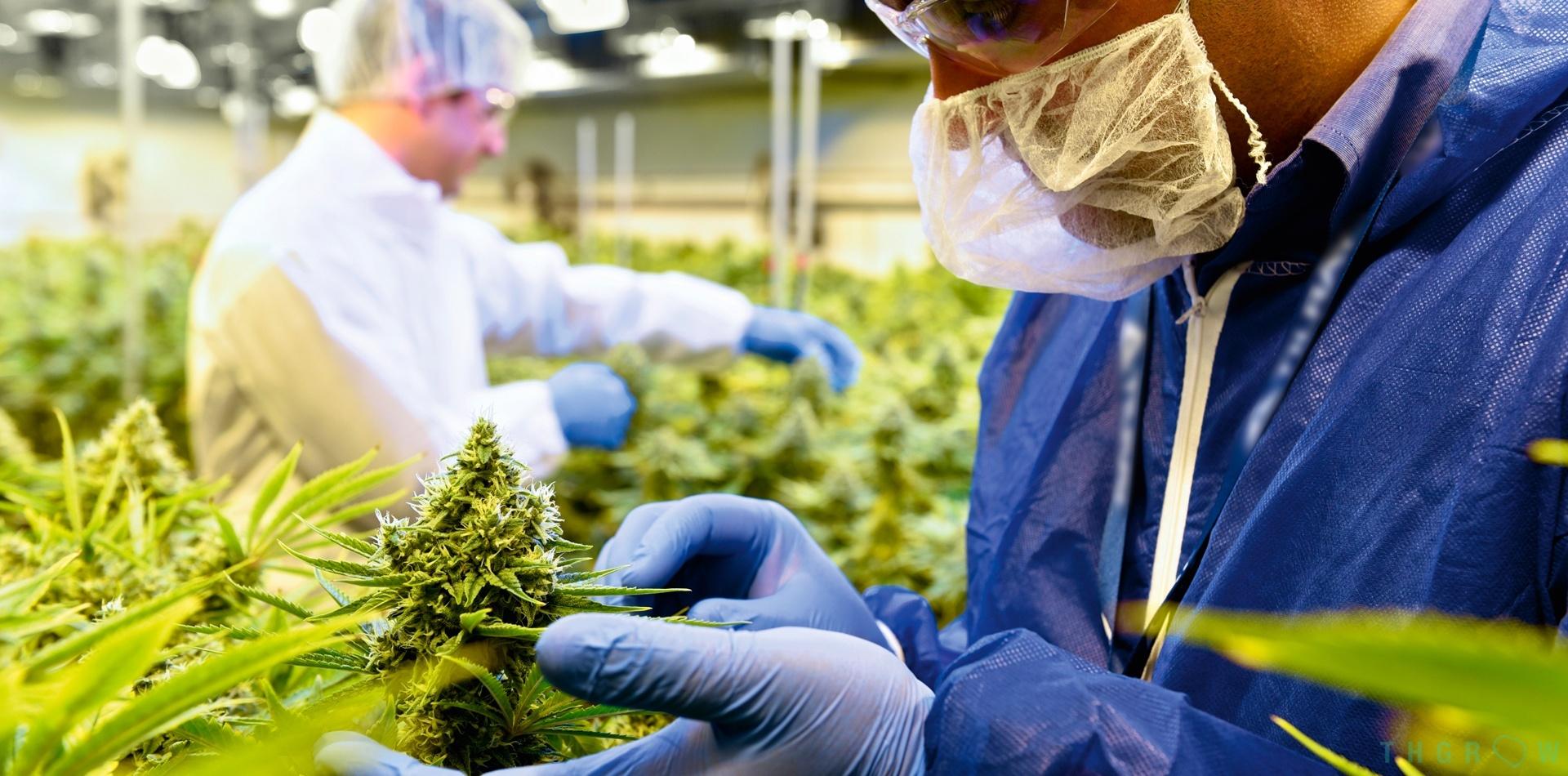 Cannabis Deficiencies and Diseases
