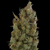 Blueberry Cheese (Blue Cheese) Feminized