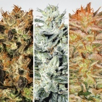 Collection Pack Indica Champions