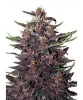 Buddha Purple Kush Feminized