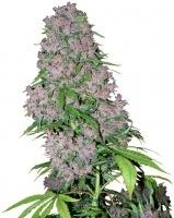 Purple Bud Feminizada