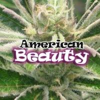 American Beauty Feminizada