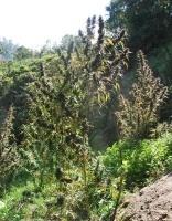 Colombia Mangobiche Regular