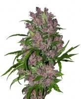 Purple Bud Automatic Feminized