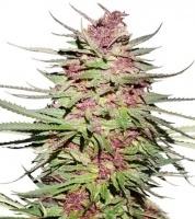 Purple no.1 Feminizada