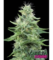 Gorilla Candy Feminizada