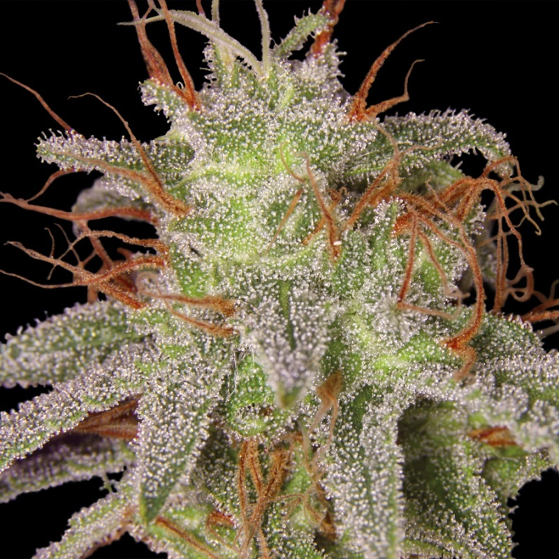 Amnesia Lemon Feminized