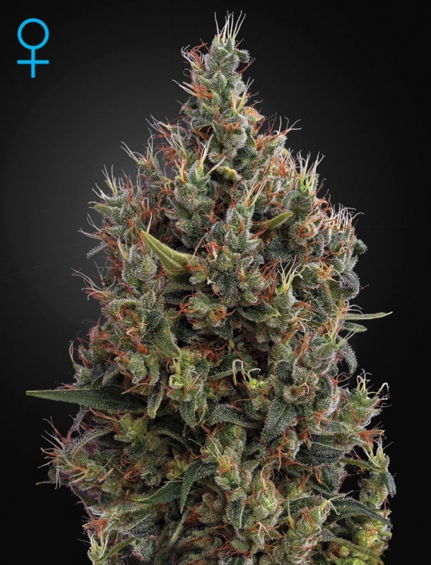 Big Bang Autoflowering Feminized