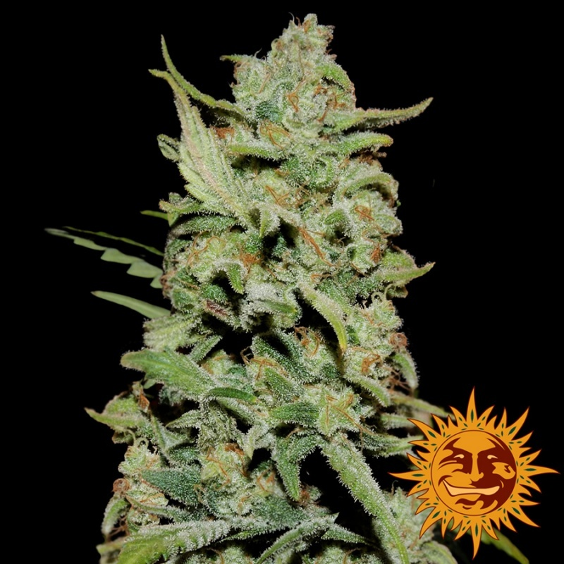 Peyote Critical Limited Edition Feminized