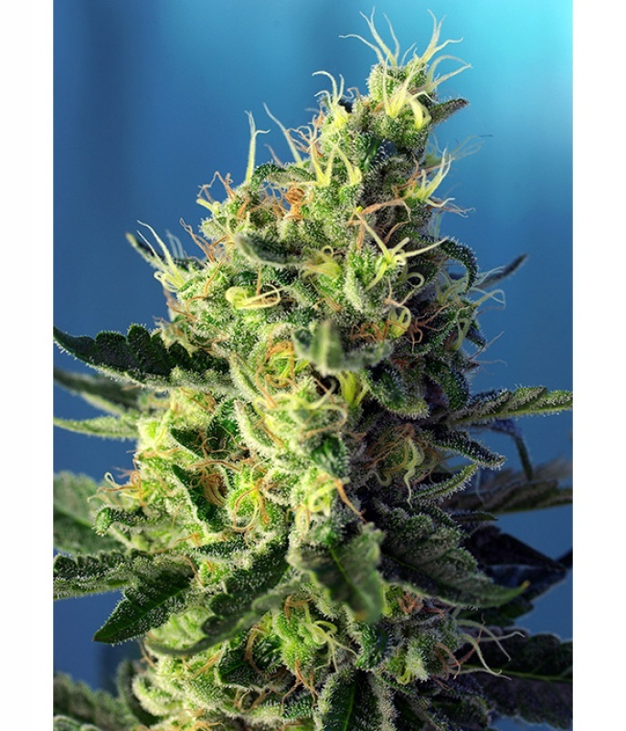 Sweet Pure CBD Feminized