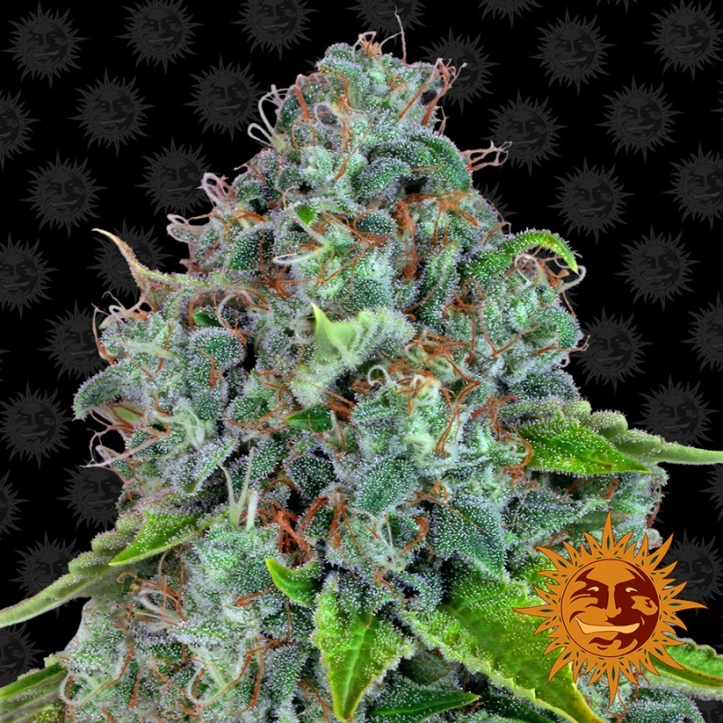 Strawberry Lemonade Feminized