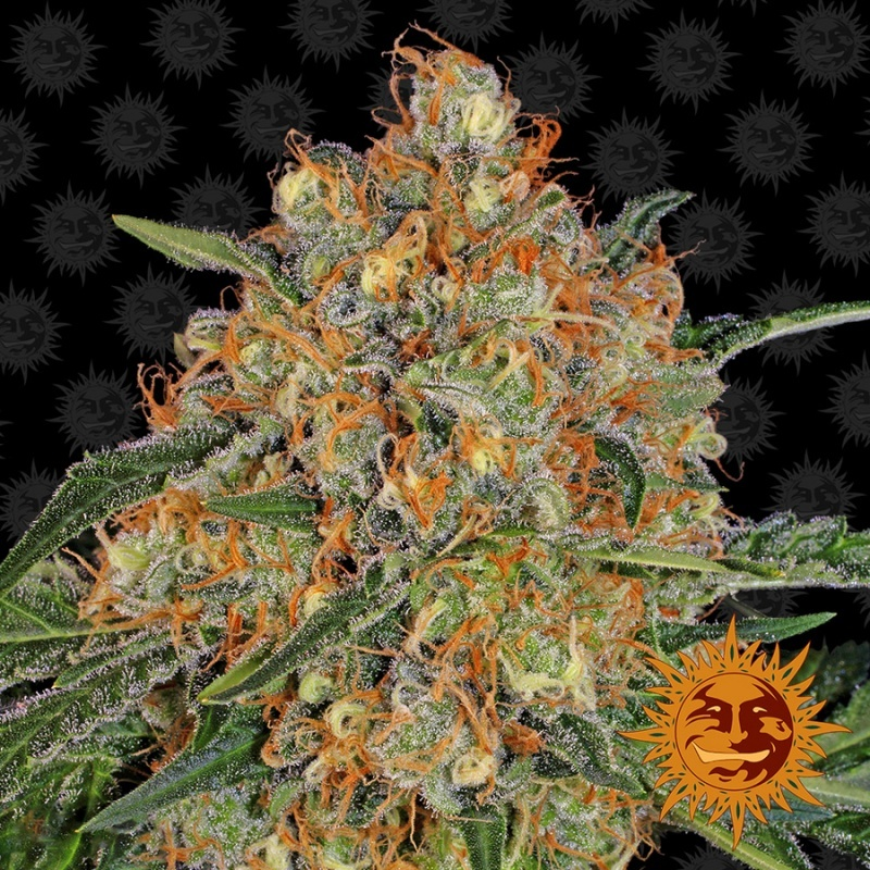 Orange Sherbert Feminized