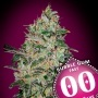 Bubble Gum Fast Feminized