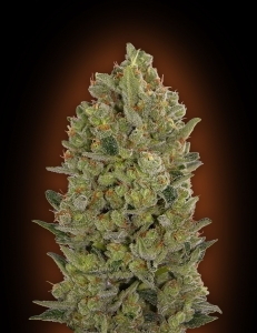 Auto Cheese Berry de 00 Seeds