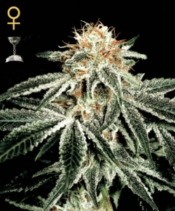 White Widow de Green House