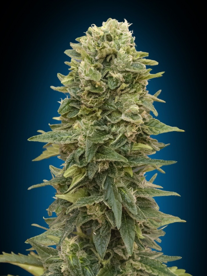 Auto Afhan Mass 00 Seeds